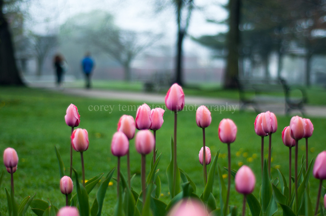 Portland, Maine Pink Tulips in Lincoln Park. By Corey Templeton.