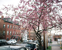 Cherry Blossoms on Danforth Street
