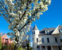 Tree in Bloom at Mellen Street and Cumberland Avenue, Parkside
